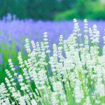 白く咲いたラベンダーの花