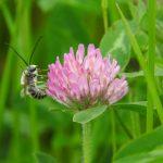 花にとまっているミツバチ